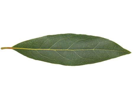 nobilis: Leaf of Laurus Nobilis aka Laurel Bay tree isolated over white background Stock Photo