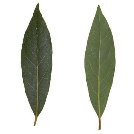 nobilis: Leaf of Laurus Nobilis aka Laurel Bay tree isolated over white background, front and rear sides Stock Photo