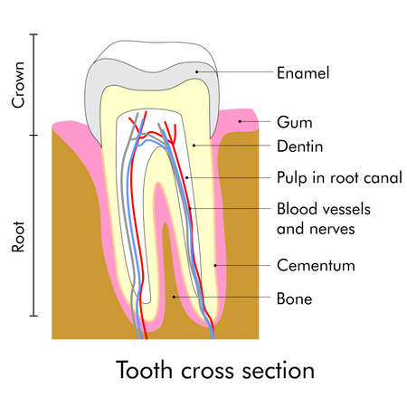 root canal: Tooth cross section showing teeth anatomy