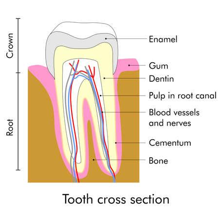 Zahnquerschnitt, Der Die Zähne Anatomie Lizenzfreie Fotos, Bilder ...