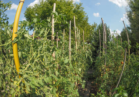 and plot: Vegetable garden aka vegetable patch or vegetable plot with tomato plants seen with fisheye lens Stock Photo