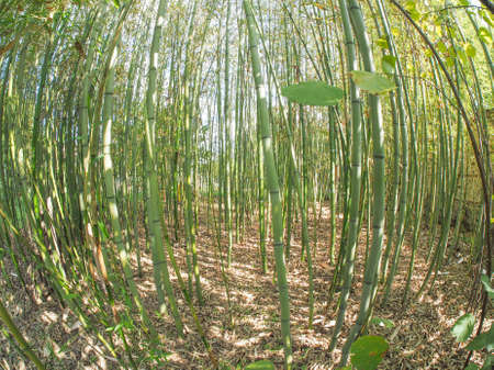 below: Bamboo (Bambuseae) trees perspective seen from below with fisheye lens