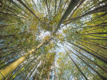 perspectives: Bamboo (Bambuseae) trees perspective seen from below with fisheye lens