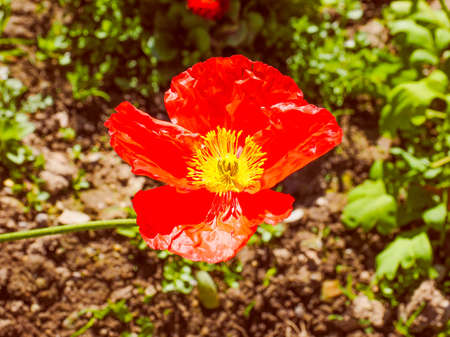 genus: Vintage looking Red Papaver flower genus of the poppy family Papaveraceae Stock Photo