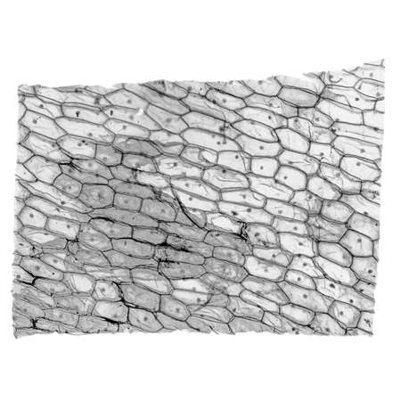 photomicrograph: High resolution light photomicrograph of Onion epidermus cells seen through a microscope in black and white