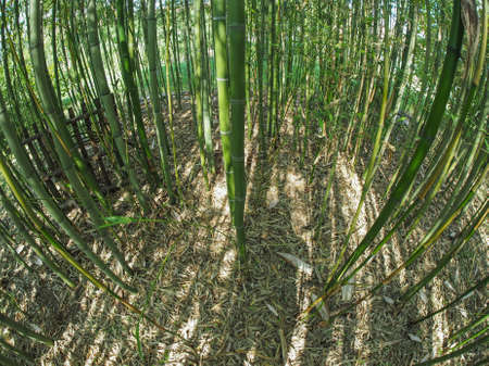 seen: Bamboo (Bambuseae) trees perspective seen from below with fisheye lens