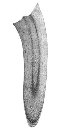 photomicrograph: Light photomicrograph of Corn root tip cross section seen through microscope in black and white Stock Photo