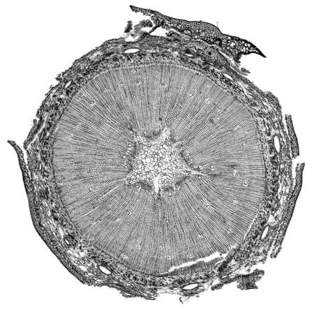 high section: High resolution light photomicrograph of pine tree wood cross section seen through a microscope in black and white Stock Photo