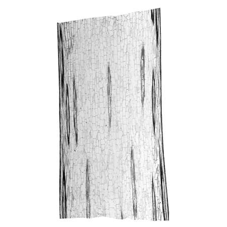 photomicrograph: Light photomicrograph of Corn stem longitudinal section seen through microscope in black and white