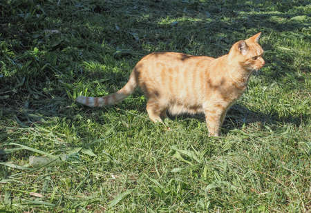 felis silvestris catus: Domestic cat domesticated housecat aka Felis catus or Felis silvestris mammal animal in a meadow