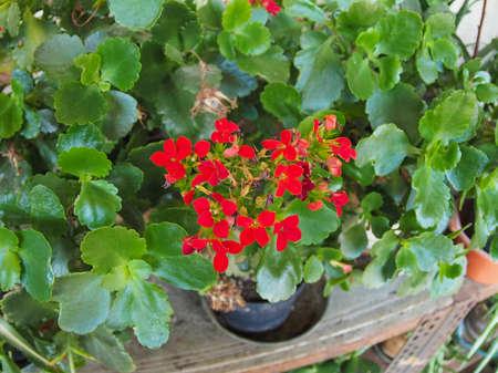 plantae: Red kalanchoe (Saxifragales Crassulaceae Kalanchoe) flower