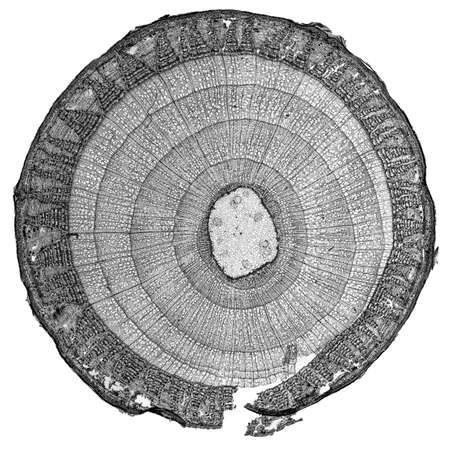 photomicrograph: High resolution light photomicrograph of tilia stem cross section seen through a microscope in black and white