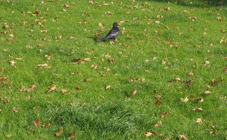 corvidae: Black crow (Corvus of family Corvidae) bird animal in a meadow Stock Photo