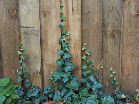 plantae: Ivy (Hedera) plant on a wooden fence