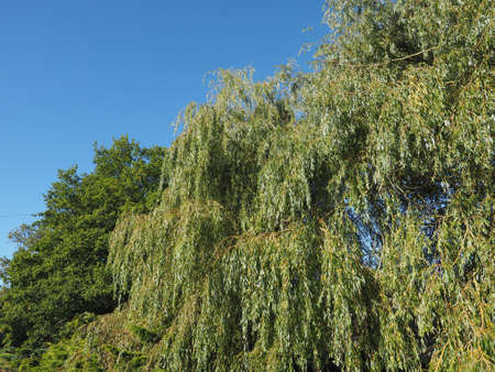 babylon: Weeping willow aka Salix babylonica or Babylon willow tree