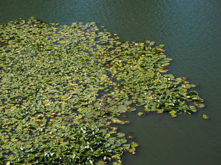 nymphaeaceae: Water Lily (Nymphaea Nymphaeaceae) aquatic plant