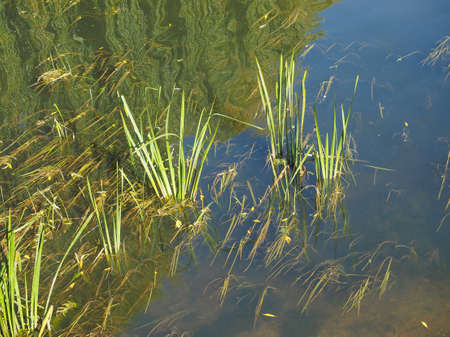 backwater: Green water plants in a pond or stagnant river backwater