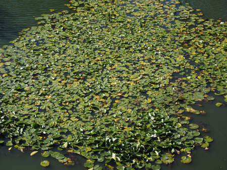 nymphaea: Water Lily (Nymphaea Nymphaeaceae) aquatic plant