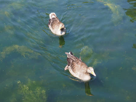 aves: Duck animal part of Aves aka birds in a pond of water Stock Photo