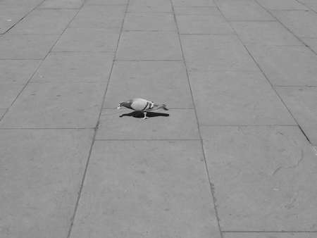 aves: Domestic pigeon animal part of Aves aka birds on the pavement in black and white