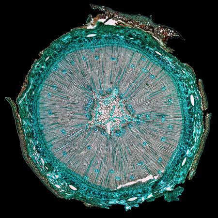photomicrograph: High resolution light photomicrograph of pine tree wood cross section seen through a microscope