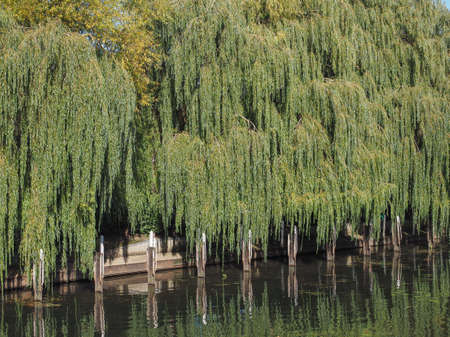 salix: Weeping willow aka Salix babylonica or Babylon willow tree