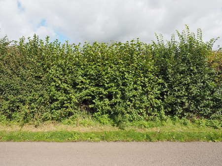 hedgerow: Hedgerow of Hazel trees aka Corylus tree