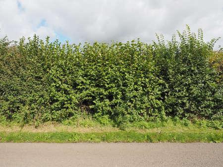 albero nocciola: Siepe di alberi di nocciola aka albero Corylus Archivio Fotografico