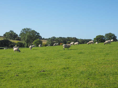 arden: Flock of sheep in the English countryside in Tanworth in Arden Warwickshire, UK Stock Photo