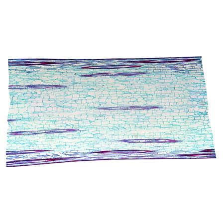 photomicrograph: Light photomicrograph of Corn stem longitudinal section seen through microscope