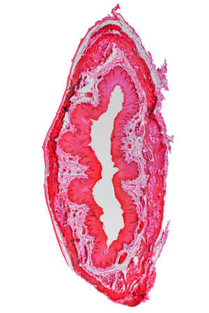 epithelium: High resolution light photomicrograph of stratified flat epithelium section seen through a microscope
