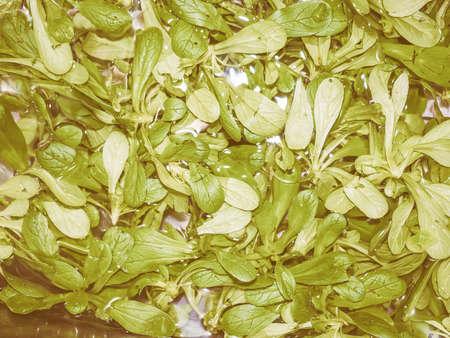 lactuca sativa: Vintage looking Lettuce aka Lactuca sativa green salad leaf vegetables