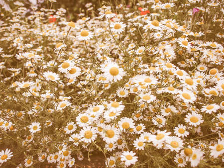 chamomile flower: Vintage looking Chamomile camomile daisy flower of family Asteraceae