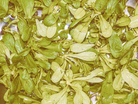 lactuca: Vintage looking Lettuce aka Lactuca sativa green salad leaf vegetables