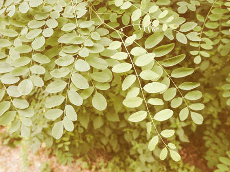 whistling: Vintage looking Leaves of Acacia tree aka thorntree or whistling thorn or wattle Stock Photo