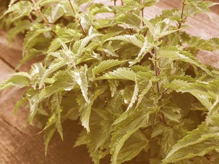 stinging  nettle: Vintage looking Shrub bush of green stinging nettle plants