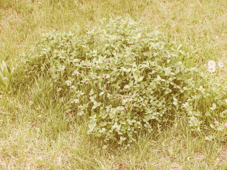 three leafed: Vintage looking Shamrock three leafed old white clover trifolium plant