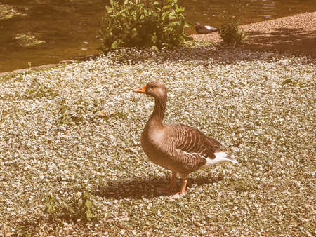 aves: Vintage looking Duck animal part of Aves aka birds near a pond of water