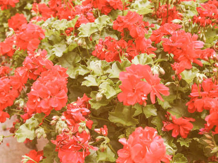 known: Vintage looking Geranium flower of flowering plants commonly known as cranesbills