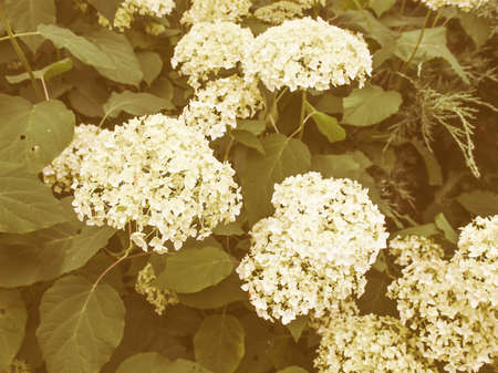 angiosperms: Vintage looking Hydrangea Hortensia flower of plantae angiosperms cornales hydrangeaceae Stock Photo