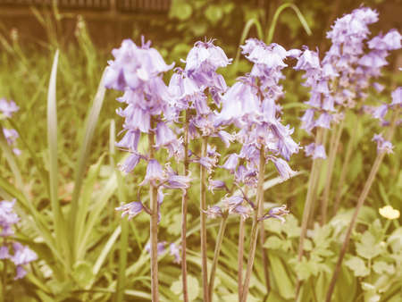 cowslip: Vintage looking Mertensia virginica flowers aka Virginia bluebell or Virginia cowslip or lungwort or oysterleaf or Roanoke bells