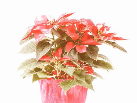 pulcherrima: Vintage looking Red Christmas star Poinsettia Euphorbia pulcherrima flower