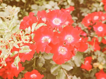 wild rose: Vintage looking Wild rose flower aka Rosa acicularis or prickly wild rose or prickly rose or bristly rose or Arctic rose or Rosa canina