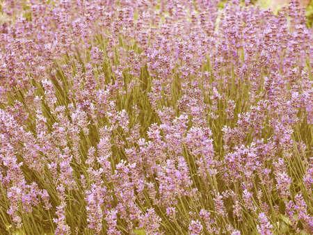 lavandula angustifolia: Vintage looking Flowers of Lavandula Angustifolia aka Lavender