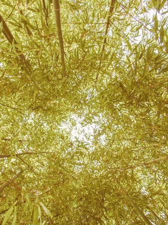 angiosperms: Vintage looking Bamboo plants forest aka Plantae Angiosperms Monocots Commelinids Poales Poaceae Bambusoideae Stock Photo