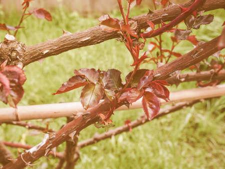 genus: Vintage looking Rose perennial flower shrub vine of genus Rosa Rosaceae