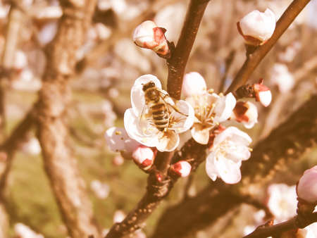 fetch: Vintage looking Bee fetching nectar from an apricot fruit tree flower Stock Photo