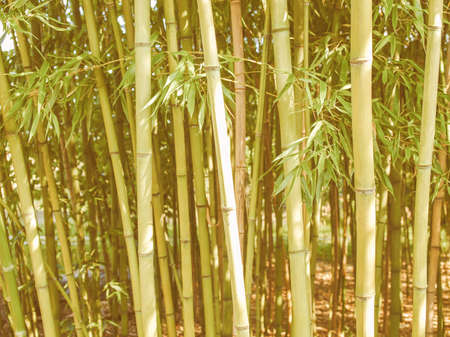 angiosperms: Vintage looking Bamboo plants forest aka Plantae Angiosperms Monocots Commelinids Poales Poaceae Bambusoideae Stock Photo