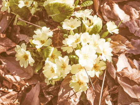 means: Vintage looking Primula means prime since it is among the first flowers to blossom in early spring