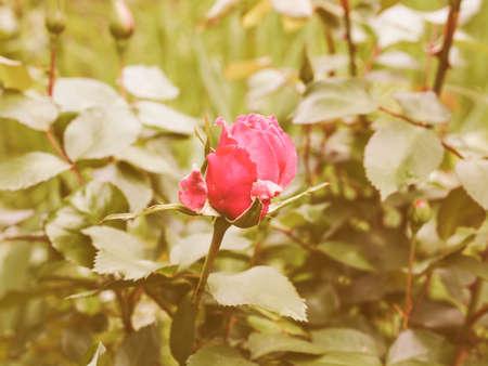 rosaceae: Vintage looking Rose perennial flower shrub vine of genus Rosa Rosaceae